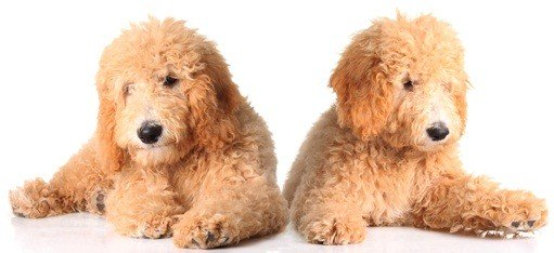 two golden poodle puppies laying beside each other