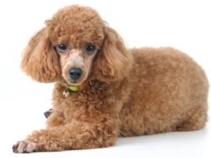 red toy poodle laying down