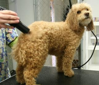 apricot poodle standing on a table getting groomed at the groomers