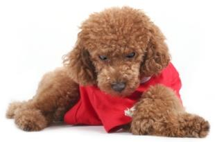 red toy poodle puppy lying down
