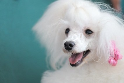 white happy poodle