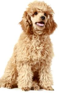 apricot standard poodle puppy sitting down