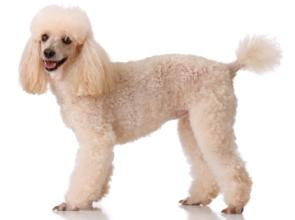 cafe au lait miniature poodle standing up and looking to the side
