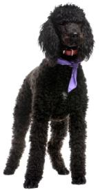 black royal standard poodle standing up with a red collar and purple scarf