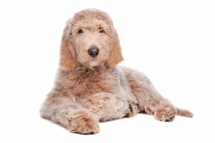 white tannish labradoodle pup laying down