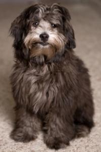 lhasa apso poodle mix black and white lhasa poo sitting down