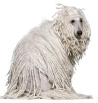 white corded poodle sitting down with head turned to the right