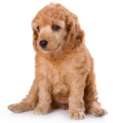 dog apricot poodle puppy sitting