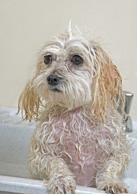 maltese and poodle mix dog getting a bath