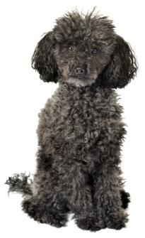 older poodles black poodle with silver in chin sitting down