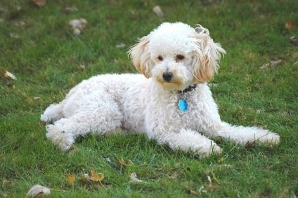one wh ite toy poodle puppy laying in the green grass with a collar and blue medal