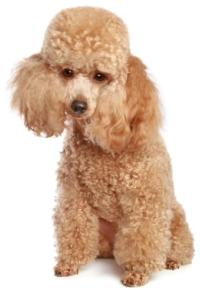 toy apricot poodle sitting down