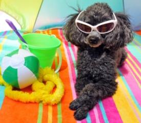 pet friendly travel black toy poodle with silver nose sitting on an orange, green, pink yellow and blue beach towel wearing white sunglasses beside a lime green sand bucket with a purple shovel handle, and a green and white beach ball