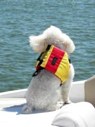 pet vacations white poodle on a boat wearing a red and yellow life vest and looking out at the bluish gray water