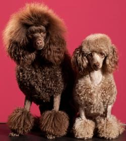 poodle clips brown miniature poodle and apricot toy poodle sitting down beside each other