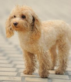 apricot toy poodle standing
