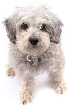 poodle mix breeds schnoodle sitting down