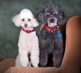 white poodle with a red collar and black poodle with a red collar standing beside each other on a brown chair