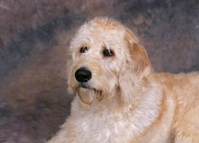 white and tan labradoodle dog