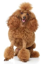 red poodle puppy sitting down