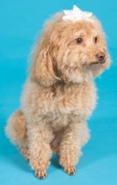 apricot poodle sitting down with a white bow on his head