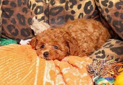 red poodle puppy laying in his bed with leopard printed blanket and orange throw