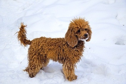 red colored poodle playing in the snow with snow on its mouth
