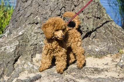 red poodle puppy out for a walk with a maroon leash and standing at the base of a huge tree trunk