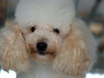 white toy poodle closeup of face
