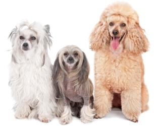 socializing your dog miniature apricot poodle with two dogs one white and the other cream, gray and tan