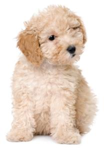 apricot toy poodle puppy sitting down with one eye half closed