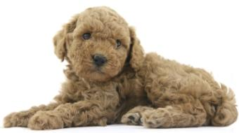 apricot poodle puppy laying down