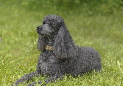 gray standard poodle laying down in the green grass outdoors