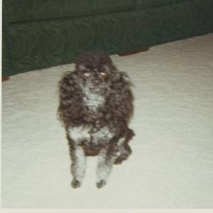 toy poodle pictures silver and black poodle Holly sitting on carpeting