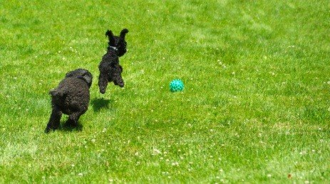 cute black toy and miniature poodle chasing a blue ball in the green grass