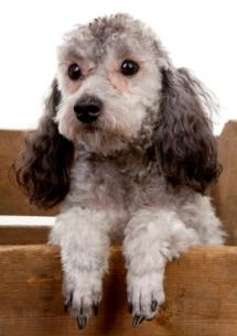 gray toy poodle