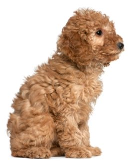 red poodle puppy side view sitting down and staying in place