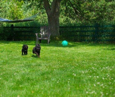 two black toy poodles