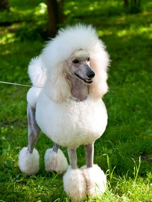 white poodle clipped standing on green grass